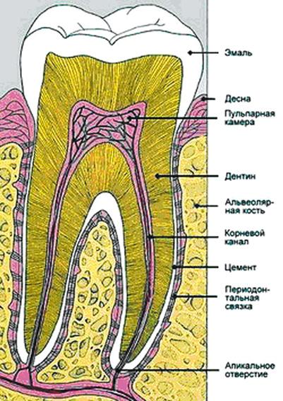 (зубная формула имеет четыре